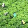A teaültetvények egész Sri Lankát bársonyba boritják